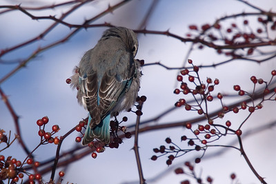 Mountain Bluebird (Female): January 2012