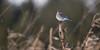 Mountain Bluebird (Female): January 2012