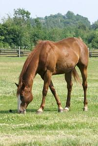 Horse (captive)