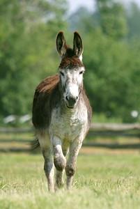Donkey (captive)