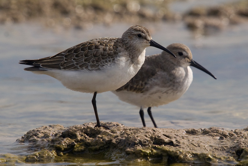 Curlew Sandpiper (foreground), Dunlin (background)
