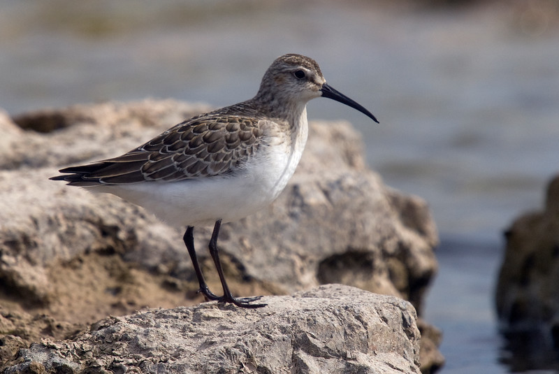 """Curlew Sandpiper:<br /> """"The Curlew Sandpiper, Calidris ferruginea, is a small wader which breeds on the tundra of Arctic Siberia. It is strongly migratory, wintering mainly in Africa, but also in south and southeast Asia and in Australasia. It is a vagrant to North America.""""<br /> (Source - <a href=""""http://en.wikipedia.org/wiki/Curlew_Sandpiper"""">http://en.wikipedia.org/wiki/Curlew_Sandpiper</a>)"""