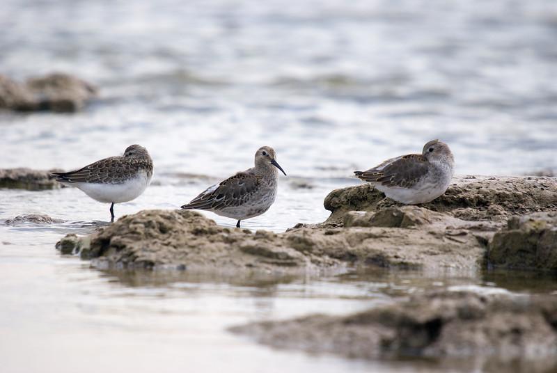 Trio of Shorebirds (2 dunlin, 1 curlew sandpiper far left)
