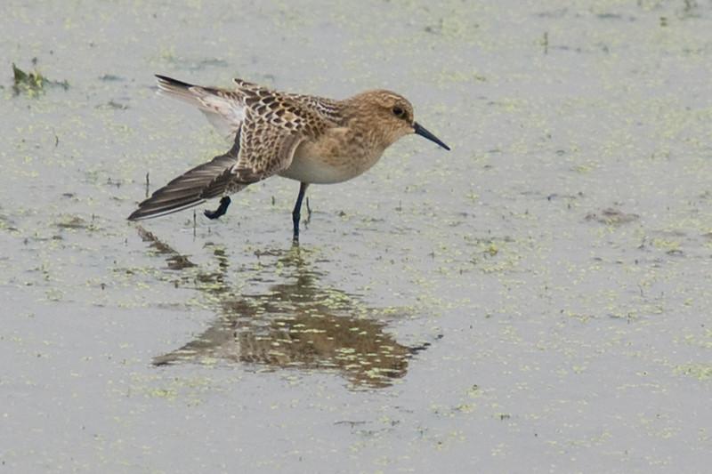 Juvenile Baird's Sandpiper