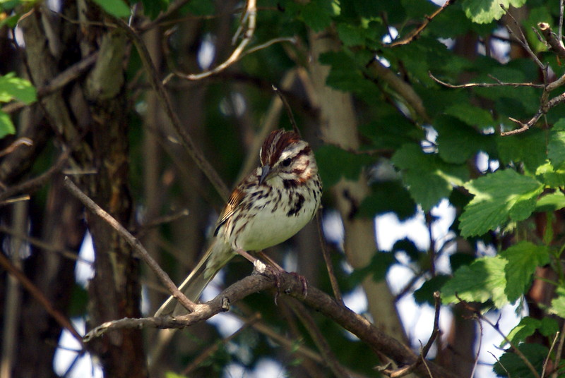 Song Sparrow. The supercilium appears to be very white in comparison to the many other song sparrows.