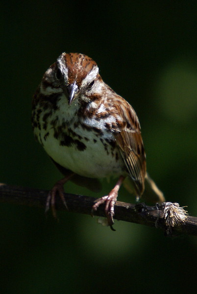 Song Sparrow. Its funny how similar this shot is to my previous trip. I am much happier with the lighting and focus this time around.  Sometimes you do get a second chance!