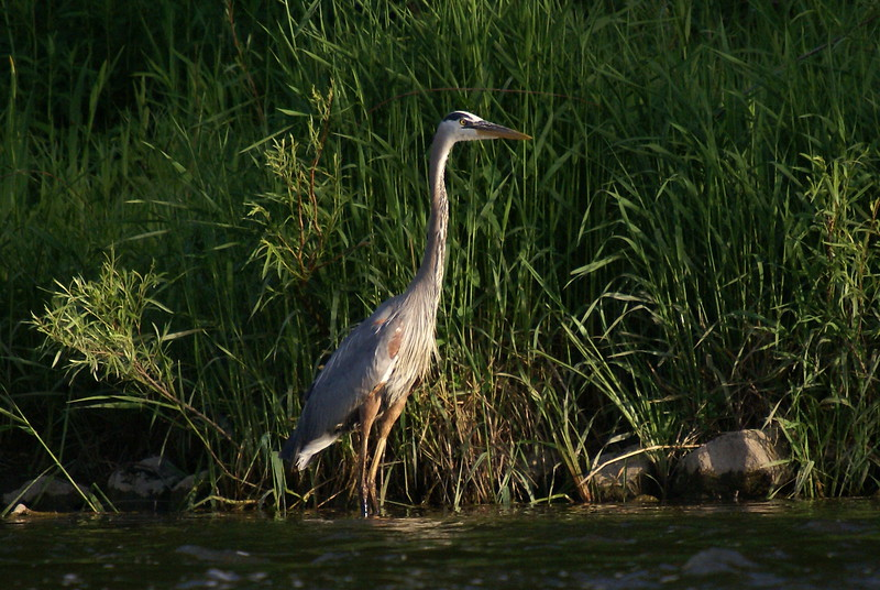 Great Blue Heron hunting along the banks of the river
