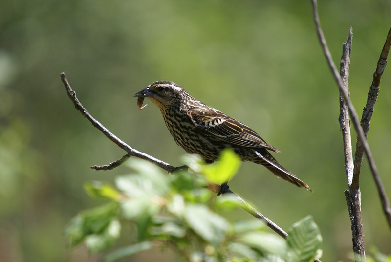 Red-wing Blackbird. Not exactly sure what it is eating. Almost looks like a salamander....