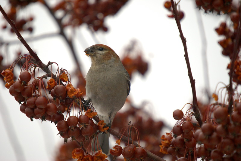 Pine Grosbeak - in nearby Guelph University Campus