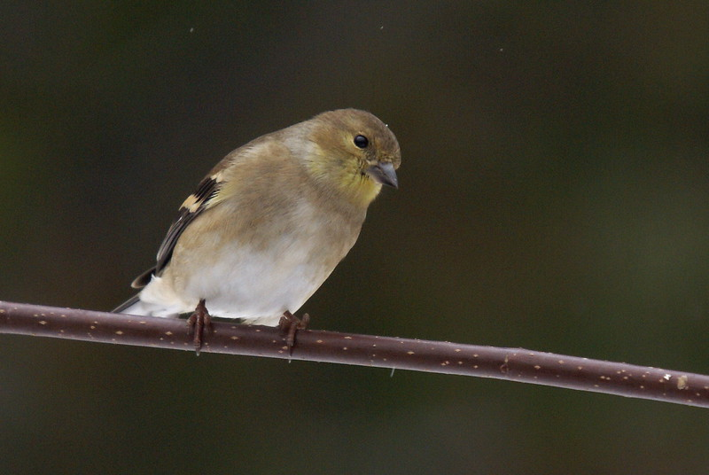 Goldfinch - Winter plumage