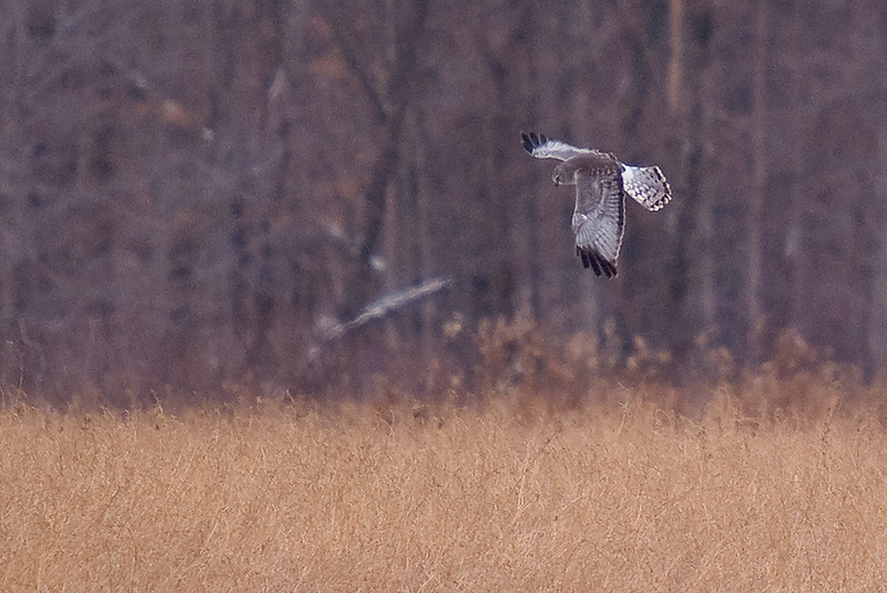 Northern Harrier (Adult Male) - i have seen many northern harriers, but i had yet to see an adult male until today. It is one of my favorite hawks. I wish it had come closer, or that i could move closer to it....but i was quite satisfied to view it from afar and enjoy the moment.