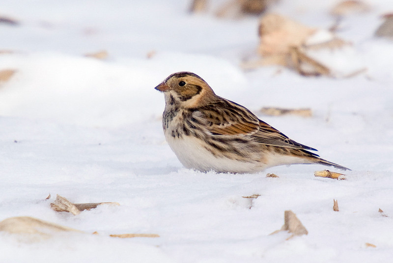 Lapland Longspur - January 2010