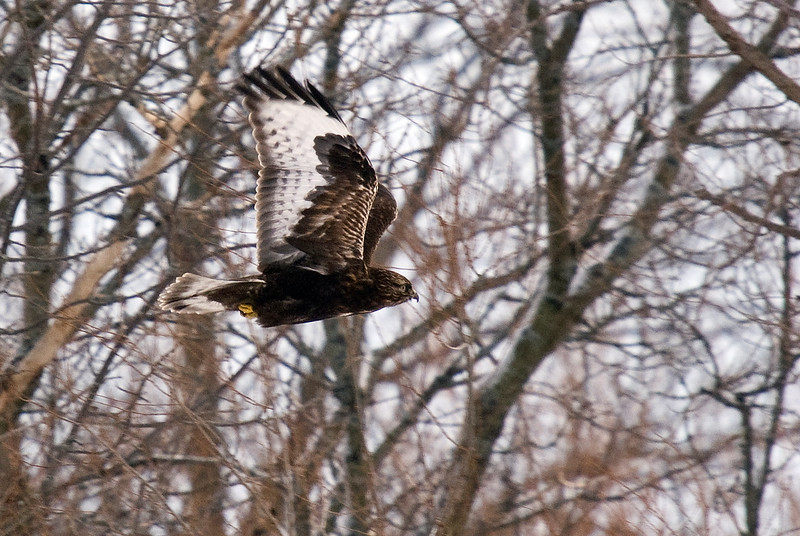 Dark-morph Rough-legged Hawk (adult)