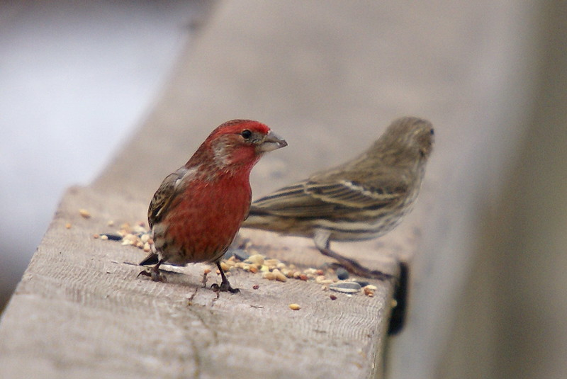 Pair of House Finches (male on left, female on right)