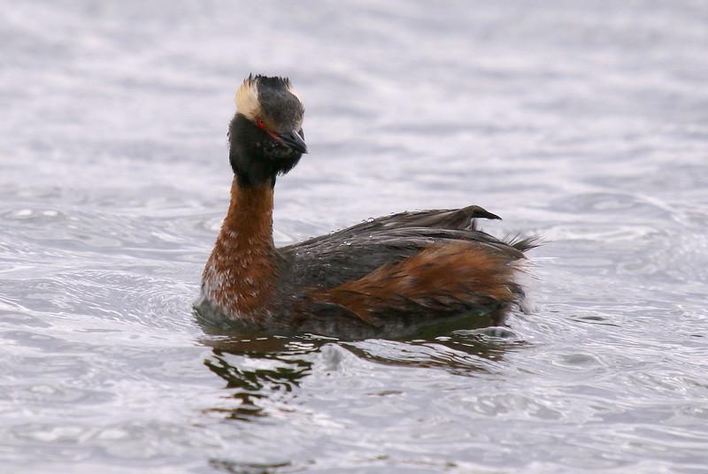 Horned Grebe - breeding plumage