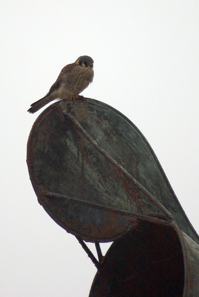 American Kestrel at the Burlington Lift Bridge