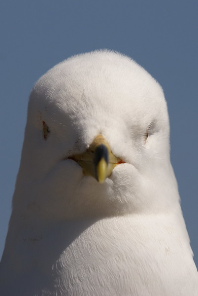 Ring-billed Gull Closeup