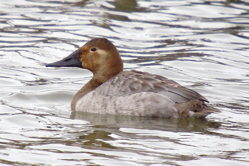 Female Canvasback.  Desjardins Canal March 6, 2008