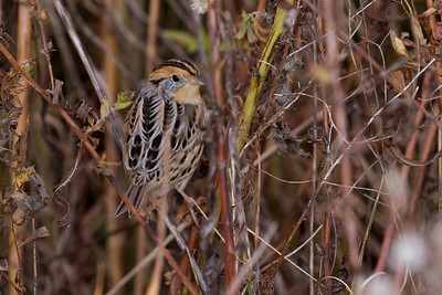 Le Conte's Sparrow - Ammodramus leconteii - Waterdown, ON