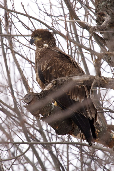 Juvenile Bald Eagle - Woodlawn Cemetary, Burlington, ON