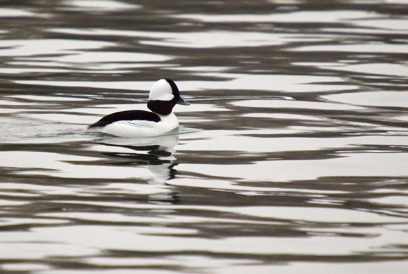 Bufflehead in the Marina @ Fifty Point Conservation Area