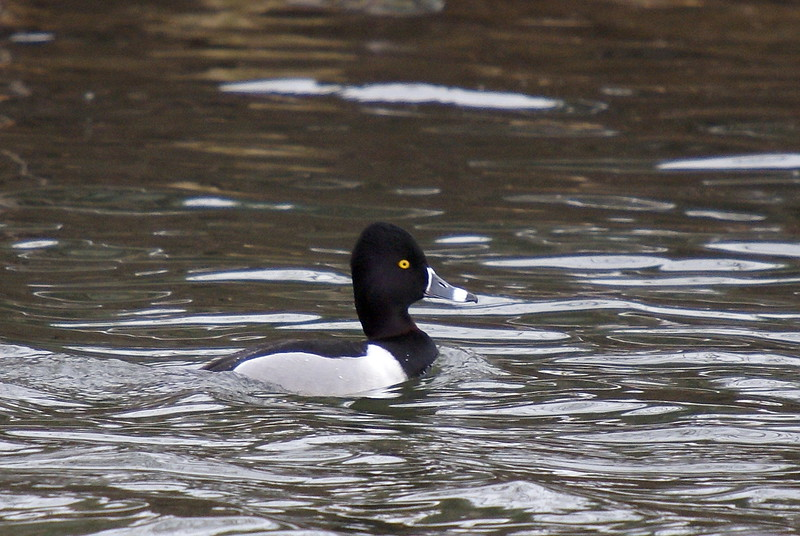 Ring-necked Duck - Desjardins Canal - March 6, 2008