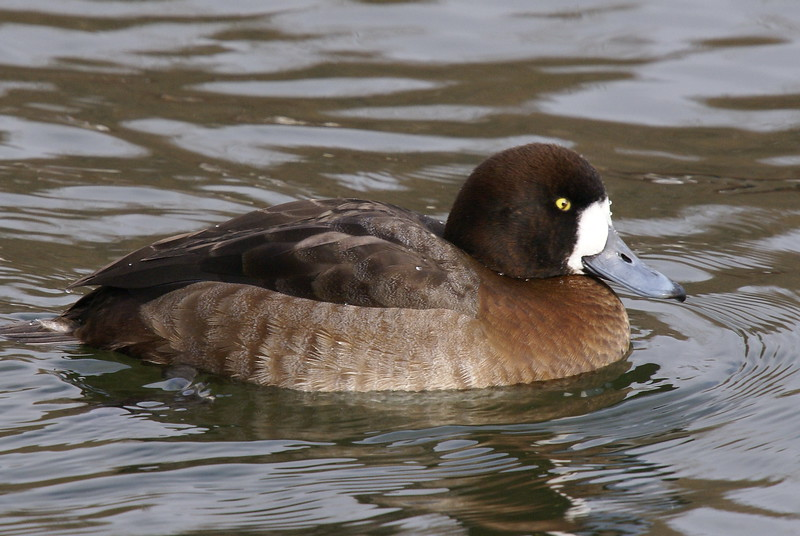 Greater Scaup Female