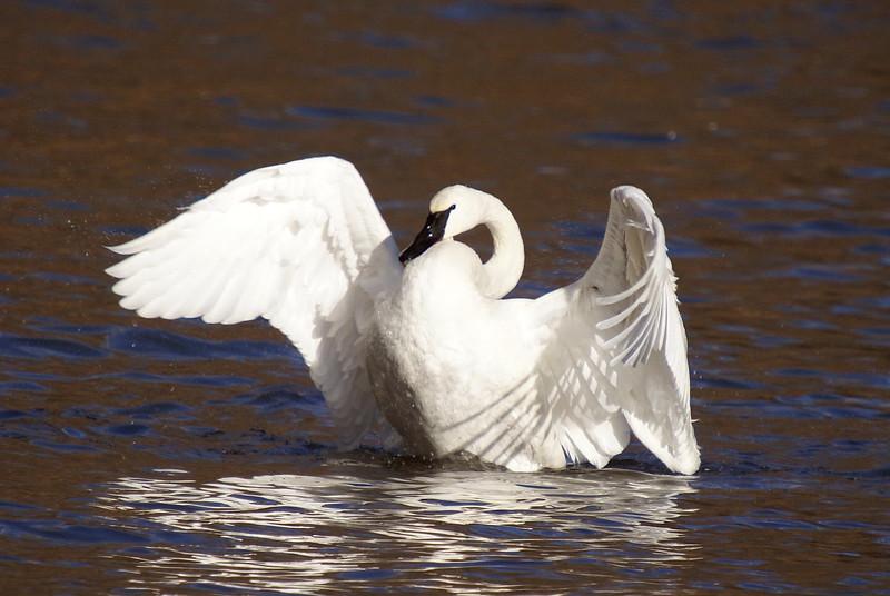 Trumpeter Swan<br /> <br /> Taken at LaSalle Park