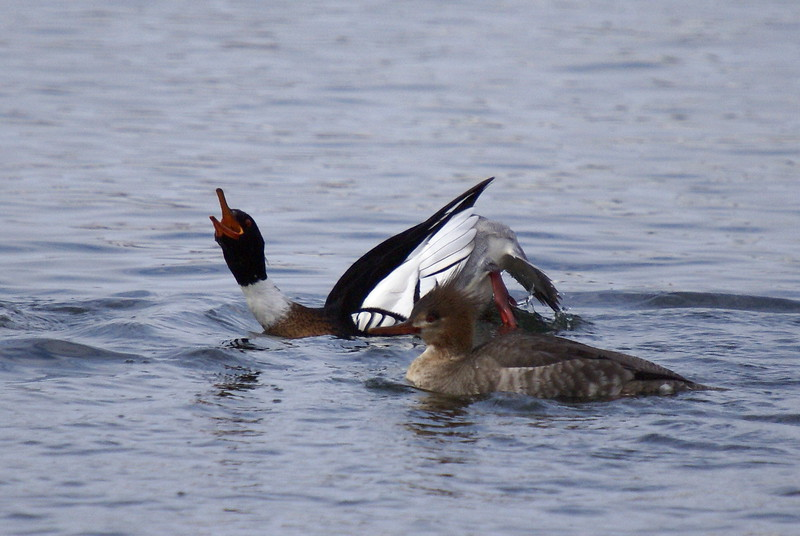Red-breasted Merganser courtship display
