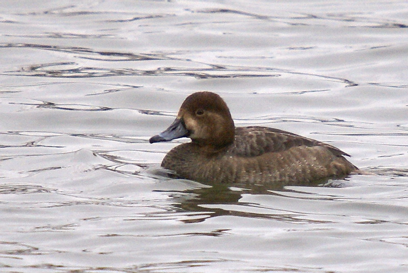 Female Ring-necked Duck<br /> Desjardins Canal - March 6, 2008