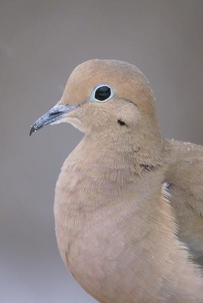 Mourning Dove