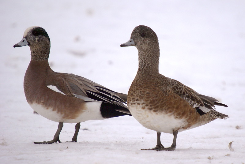 American Widgeon (male left, female right)