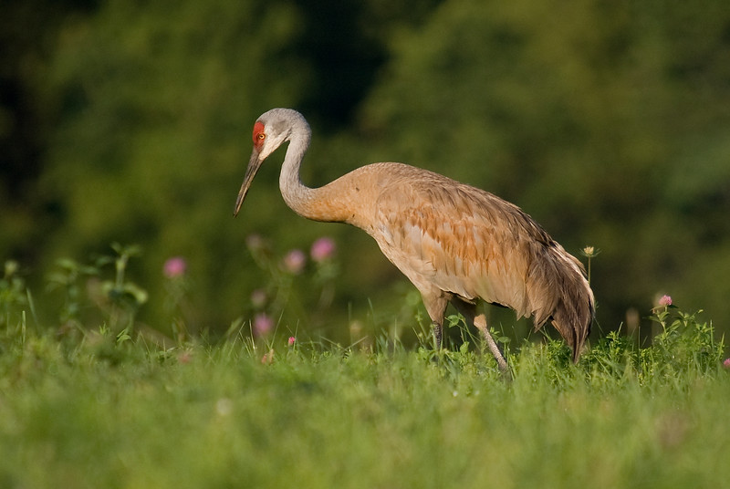 Sandhill Crane. Tried maximizing the aperture on my second visit to photograph these beautiful creatures. I was pleased to keep the sharpness at f/6.3 compared to f/8 in the hazy conditions. I think the blurred foreground and background helps bring the focus to the bird.