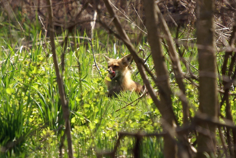 Red Fox - Shoreacres Park