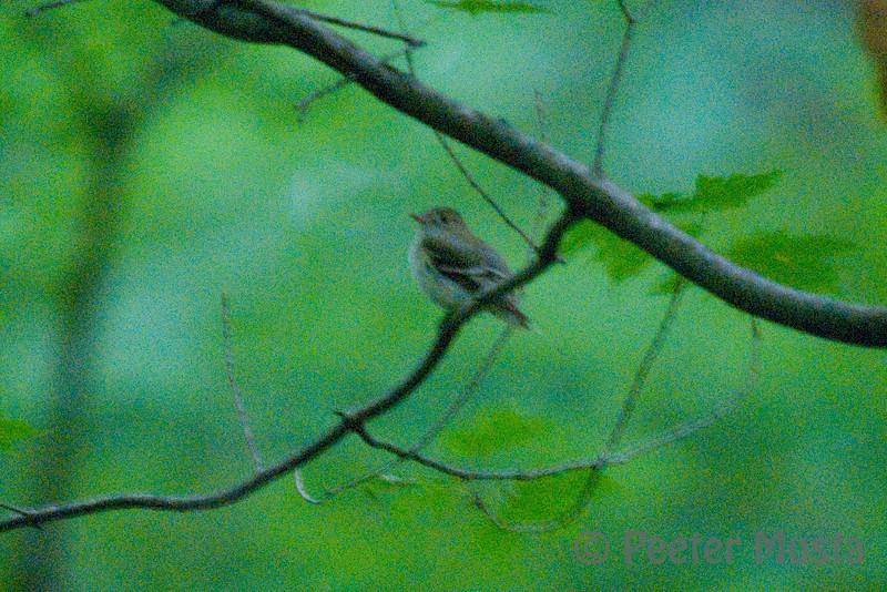 Acadian Flycatcher (endangered)