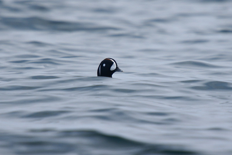 Harlequin Duck (Male) - Breeding Plumage