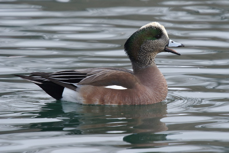 American Widgeon (Male)