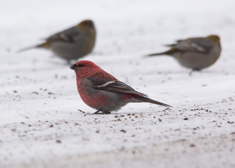 Pine Grosbeak picking up grit on the road on the eve of the forecasted largest snowstorm to hit Ontario in 5 years.