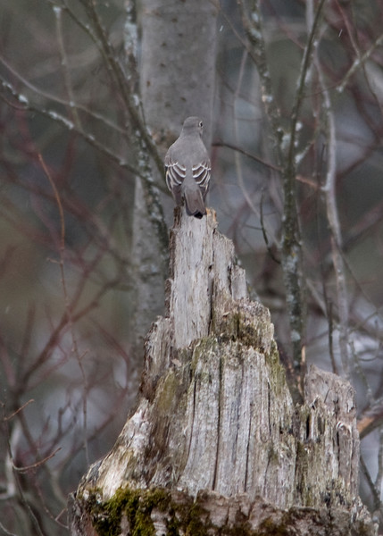Townsend's Solitaire - February 7, 2013