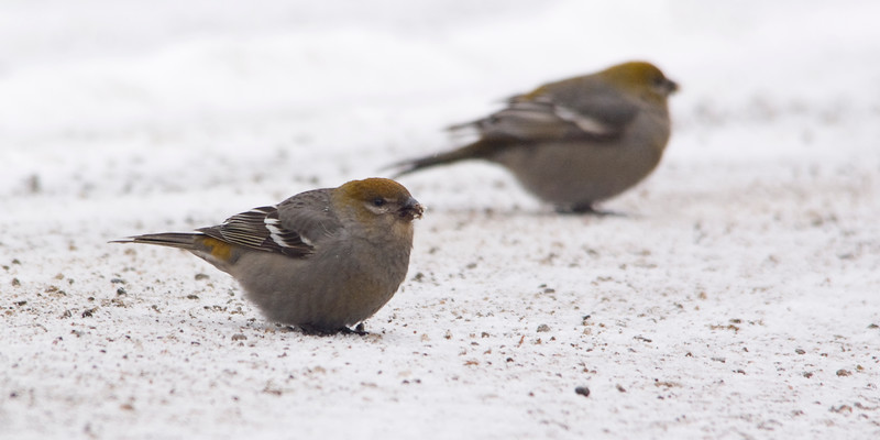 Pine Grosbeak picking up grit.