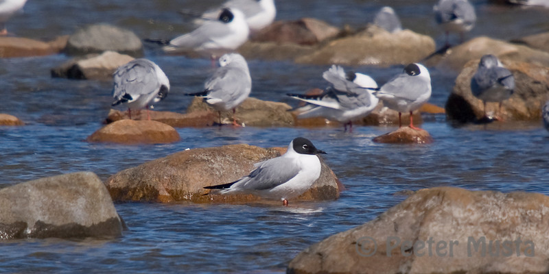 Bonaparte's Gulls (front bird is in breeding plumage)