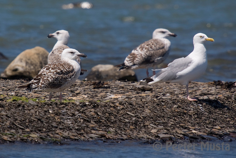 Greater Black-backed Gull (with Herring Gull on right).