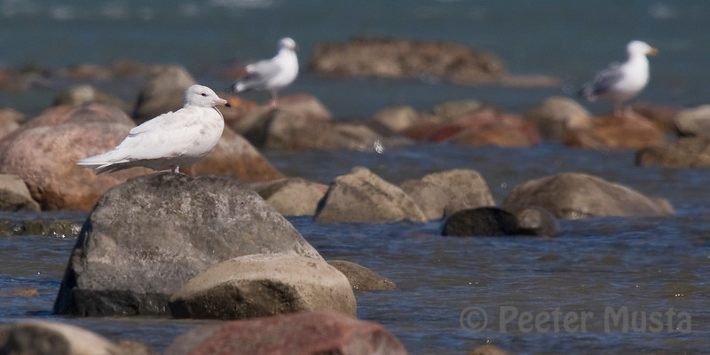 Glaucous Gull (two Herring Gulls behind)
