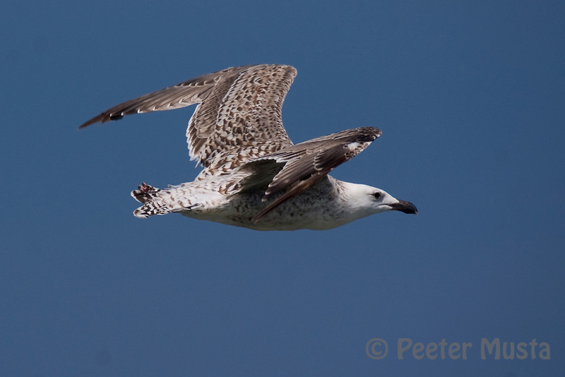 Greater Black-backed Gull