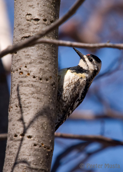 Yellow-bellied Sapsucker (and this one even has some yellow on it's belly, making the name seem a little less stange!). Note the holes around this tree, for clues to the other reason this bird earned it's name.