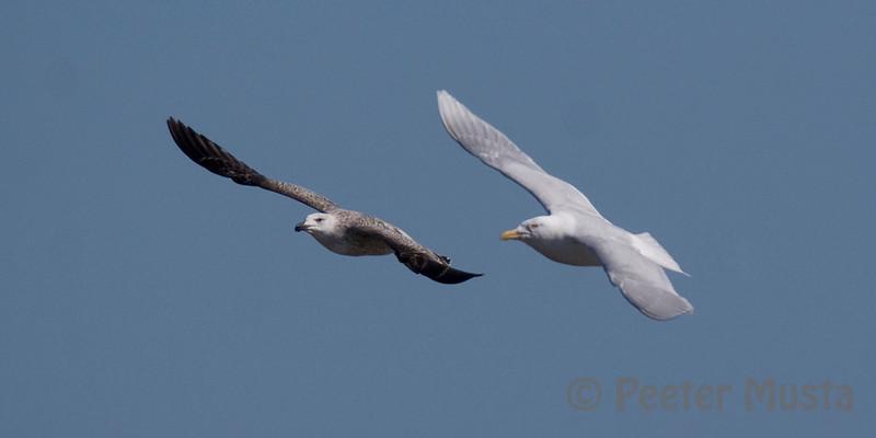 left: Greater Black-backed Gull, right: Glaucous Gull.