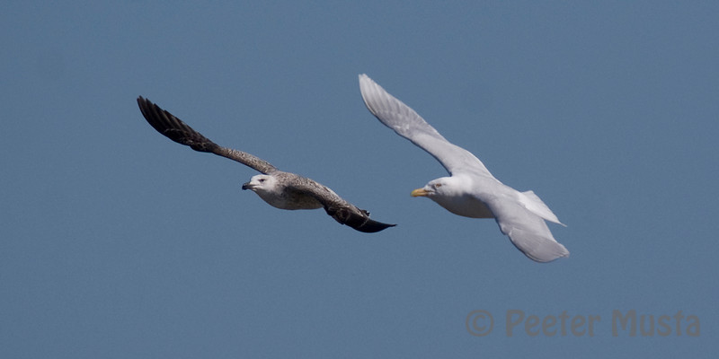 left: Greater Black-backed Gull, right: Glaucous Gull.