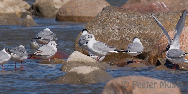 Bonaparte's Gulls