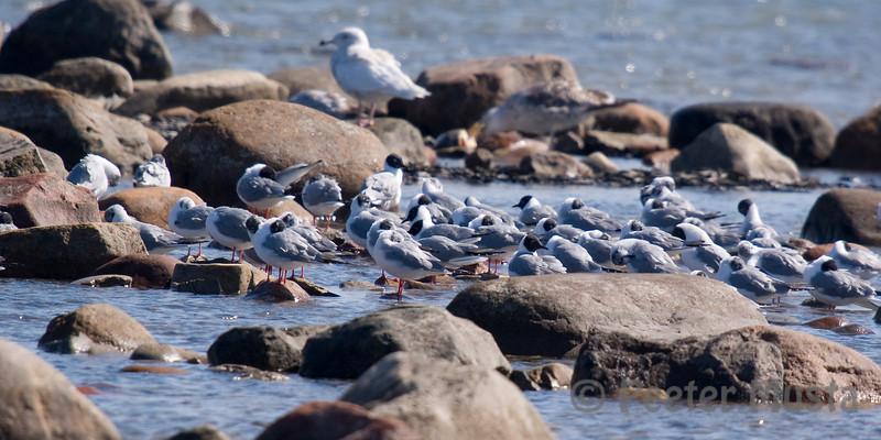 Bonaparte's Gulls (back left: Glaucous Gull, back right: Greater Black-backed Gull)