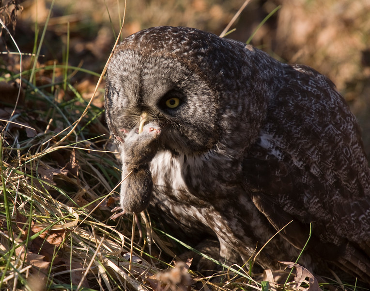 Nothing can quite describe having a great gray owl fly at you and catch a vole 6ft away from you. This bird (or any other bird) was not baited.  This is a wild vole about to be swallowed by a wild Great Gray Owl.